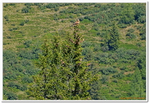 Greifvogelschau Hochalm-0041