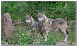 Loup gris d\'Europe-0001