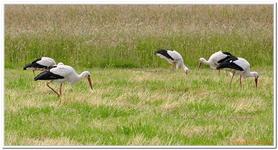 Cigogne blanche-0006