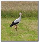 Cigogne blanche-0008