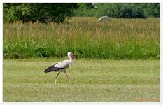 Cigogne blanche-0018