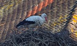 Cigogne blanche-0023