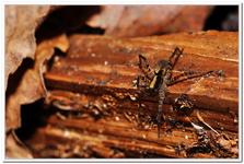 Les Arachnides-0009