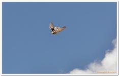 Greifvogelschau Hochalm-0012