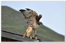 Greifvogelschau Hochalm-0020