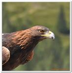 Greifvogelschau Hochalm-0026
